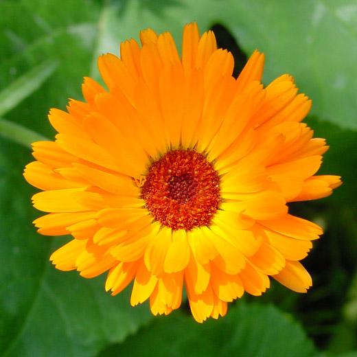 Flor calendula escrito em Arabe