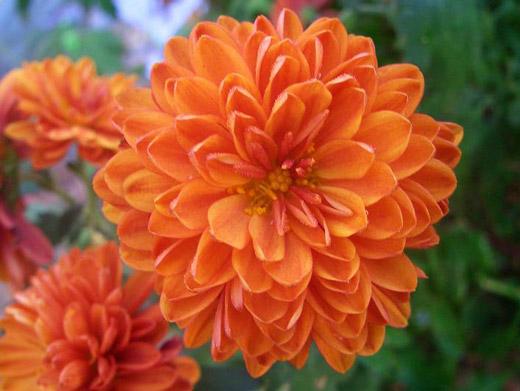 Flor crisantemo escrito em Arabe