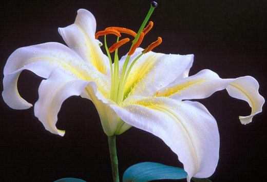 Flor lirio escrito em Arabe