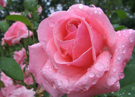 Flor Rosa escrito em Arabe