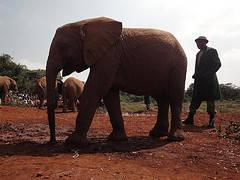 Orfanato de elefantes, Nairóbi, Quénia