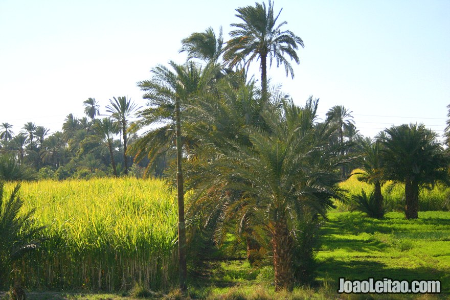 Paisagem de palmeiras do comboio Cairo Luxor Aswan