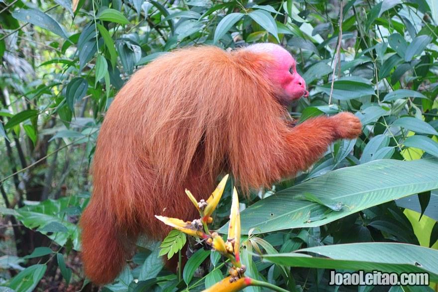 Macaco aranha de cara vermelha em Padre Cocha Peru