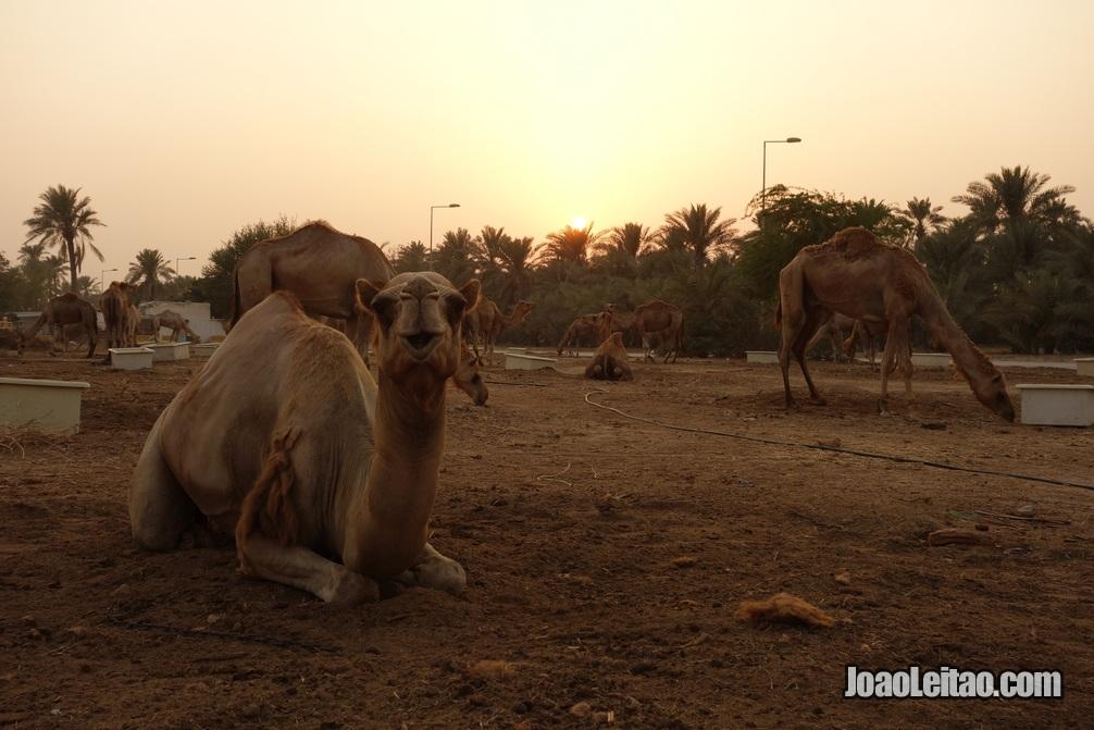 Camelos na Quinta Real de Dromedários no Barein