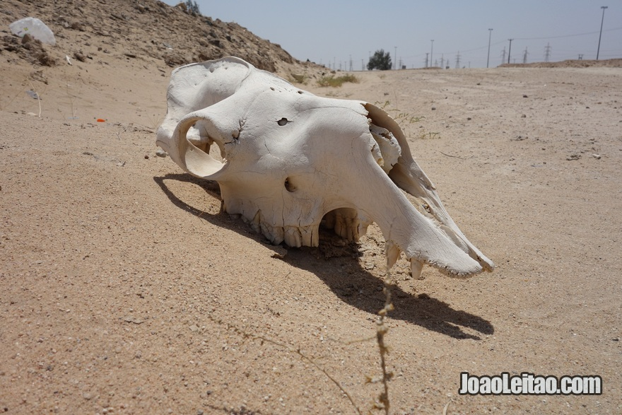 Crânio de dromedário na Autoestrada da Morte no Kuwait