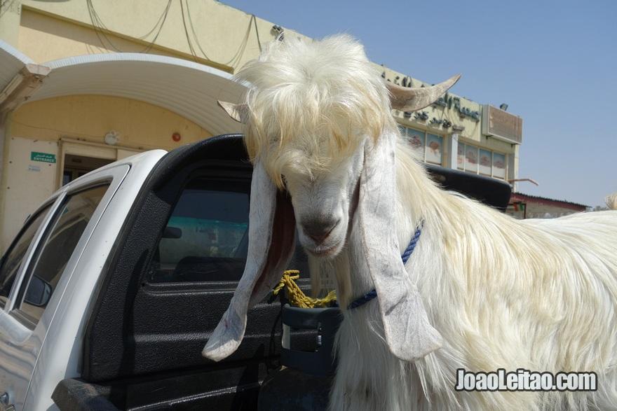 Cabra engraçada em Abdali na fronteira com o Iraque