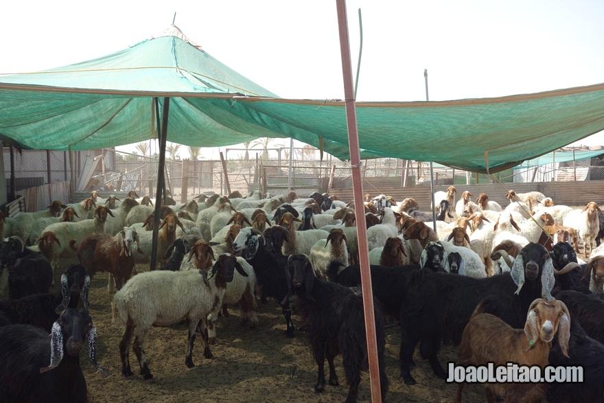 Quinta de criação de cabras no deserto do Kuwait