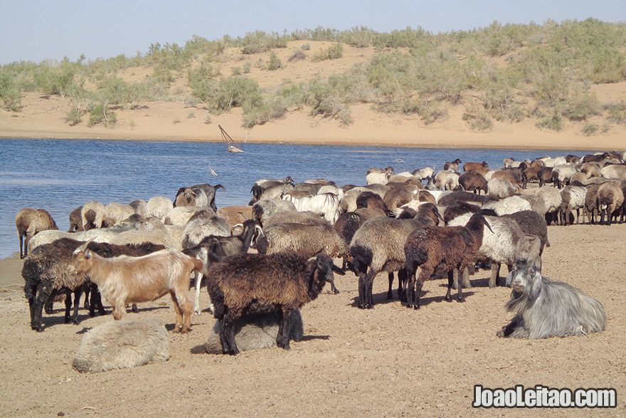 Cabras perto do Lago de Aydar no Uzbequistão