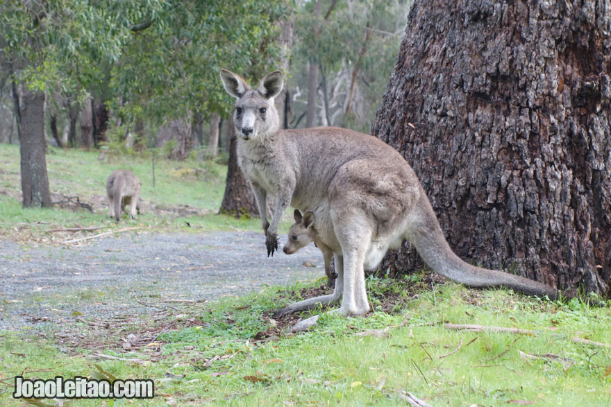 Canguru em Halls Gap, Visitar a Austrália
