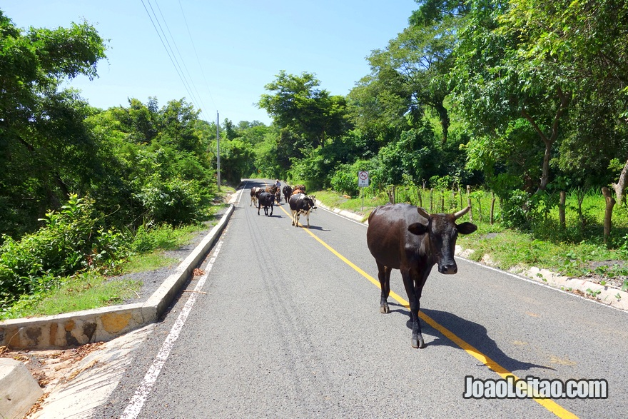 Vacas na estrada perto de Suchitoto