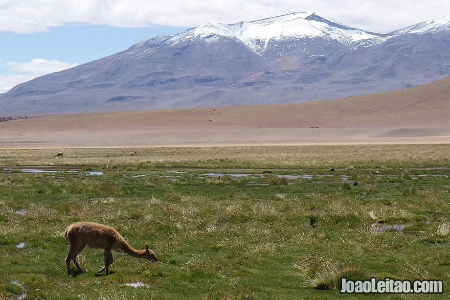 Guanaco in Atacama Desert Chile