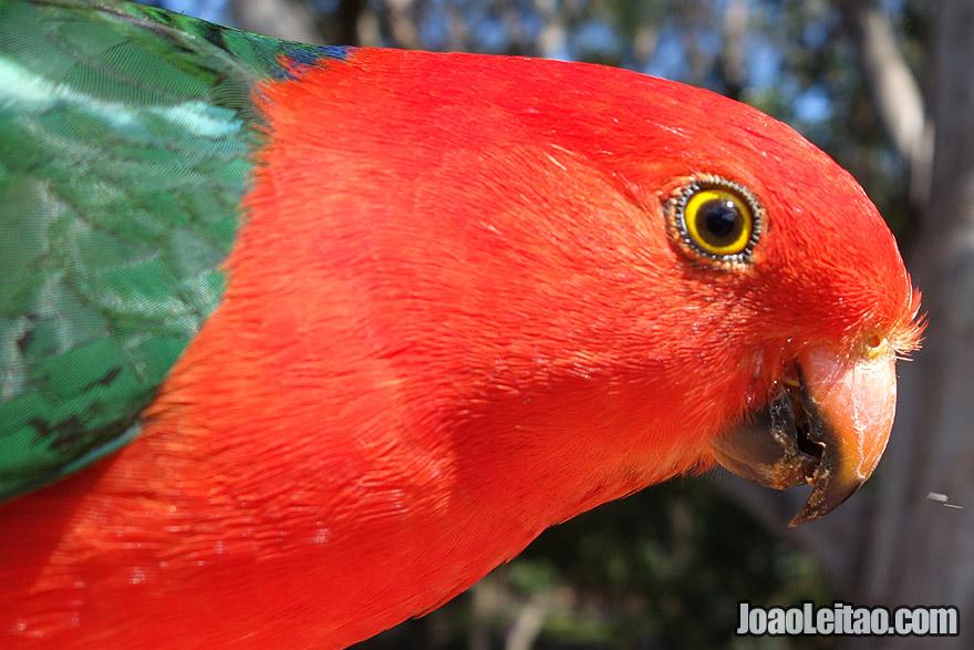 Australian King Parrot in Australia