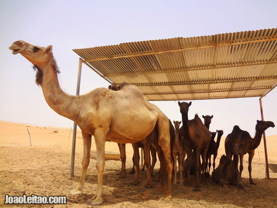 Visit Camel Farms United Arab Emirates