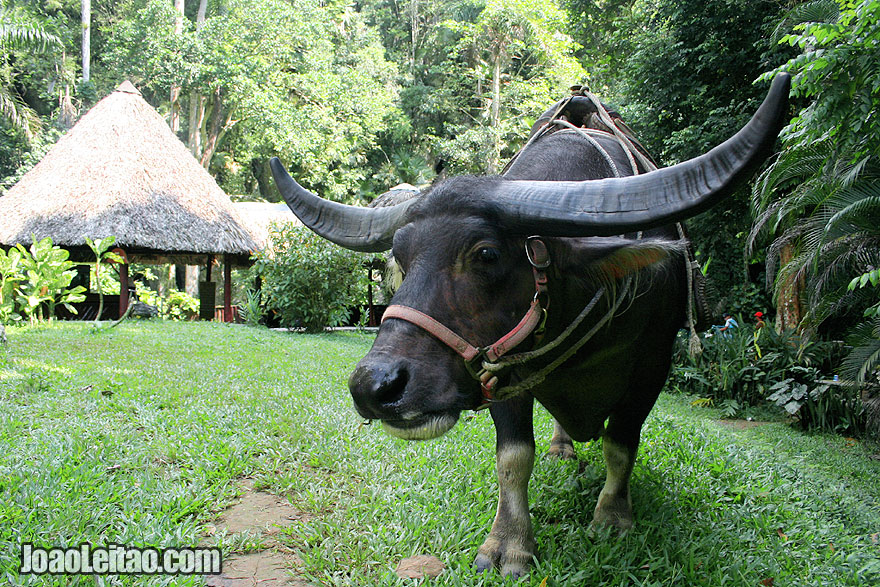 Buffalo in Viñales region