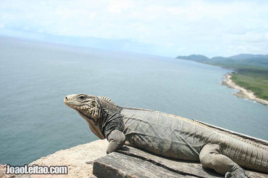 Iguana facing the Caribbean Sea in San Pedro de la Roca Fortress
