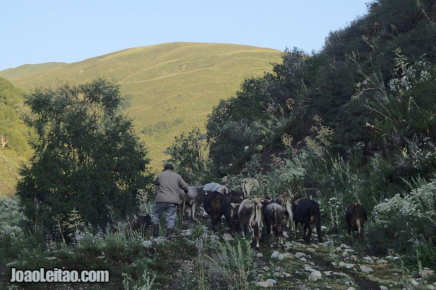 Saída matinal para pastar vacas na Cordilheira de Fergana