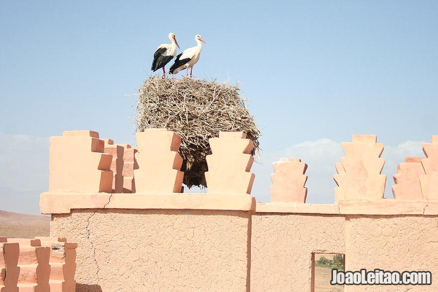 Ouarzazate City storks
