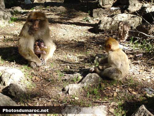 صور مضحككة Singes-azrou-foret-maroc
