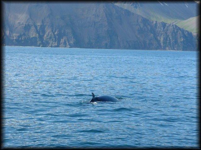 Baleias em Husavik