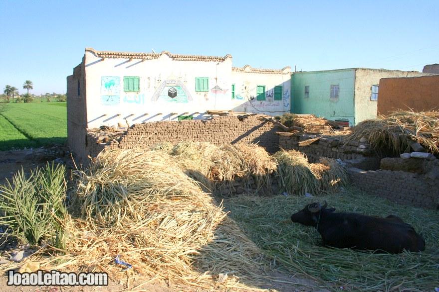 Casa com vaca na aldeia de Deir el-Medina em Luxor