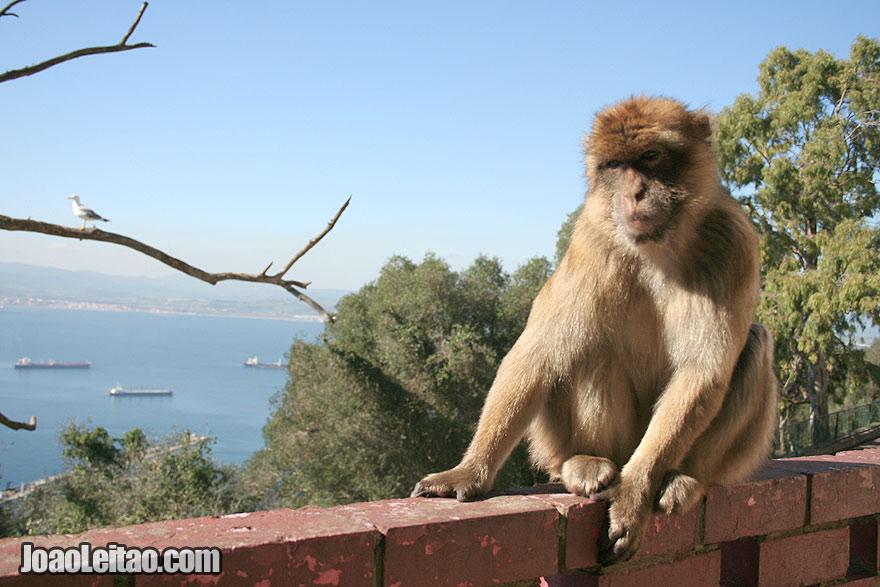 Macaco selvagem no topo do Rochedo, Visitar Gibraltar