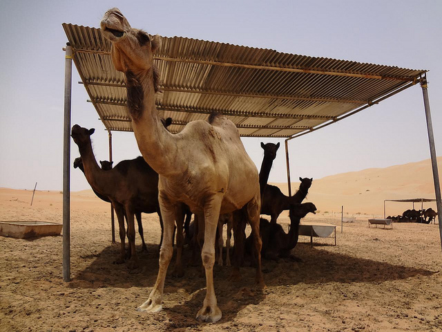 Quinta de Camelos no deserto do Oásis de Liwa, Abu Dhabi Emirados Árabes Unidos 1