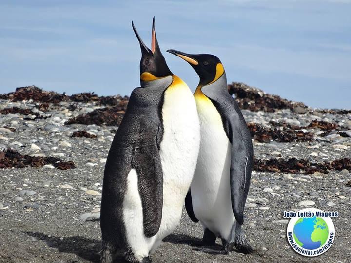 Pinguins Rei Terra do Fogo Chile