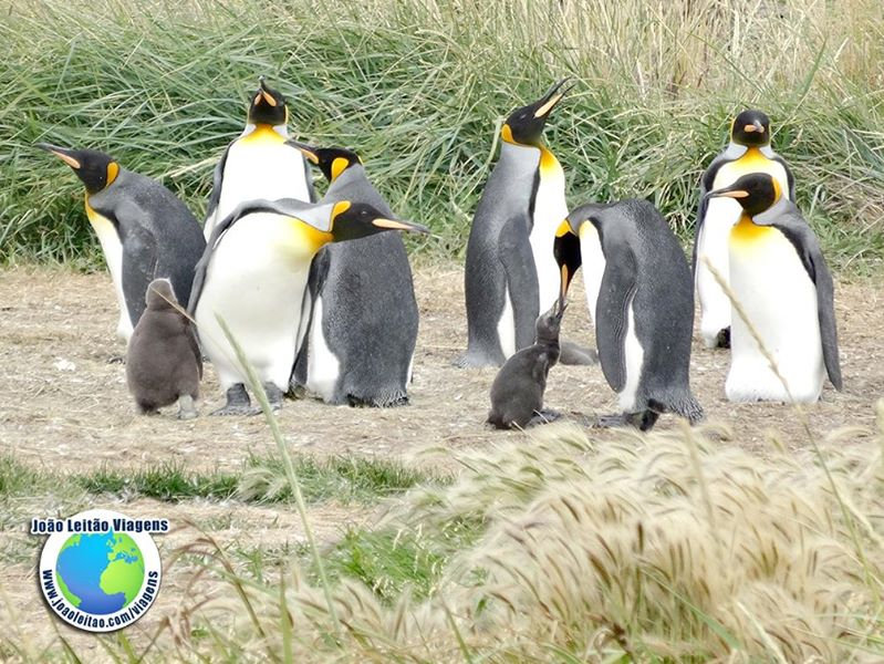 Pinguins Rei na Bahía Inutil na Terra do Fogo, Visitar o Chile