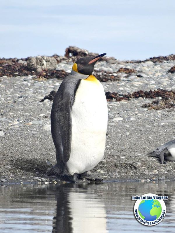 Pinguins Rei na Bahía Inutil, Terra do Fogo Chile