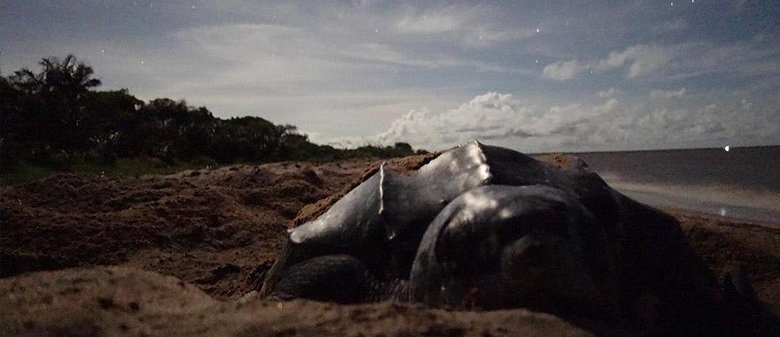 Tartaruga-de-couro na praia de Awala, na Guiana Francesa