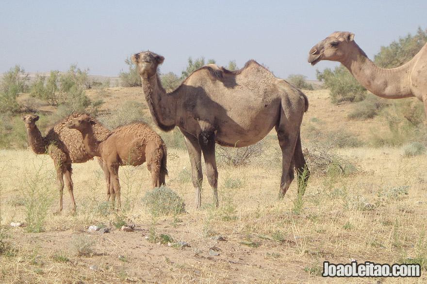 Camelos no Lago Aydar