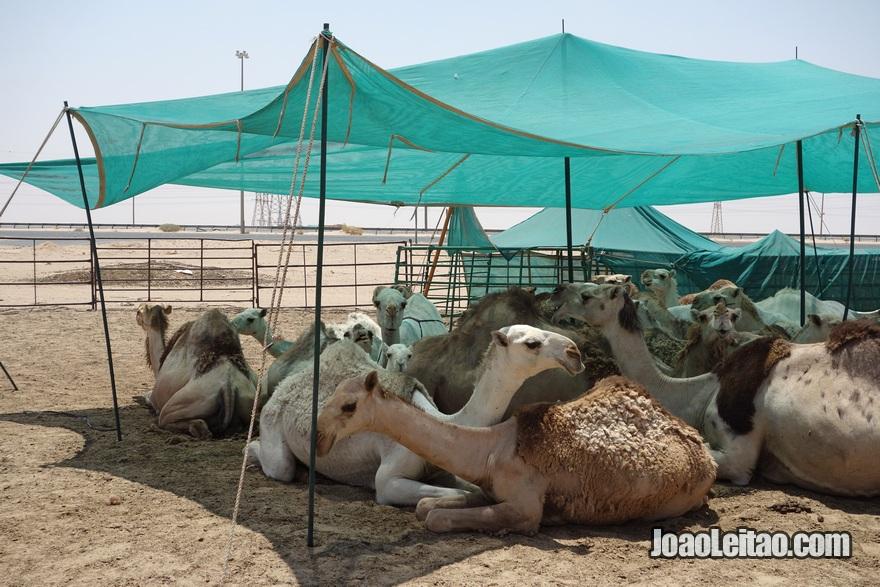 Quinta de criação de camelos na Autoestrada da Morte