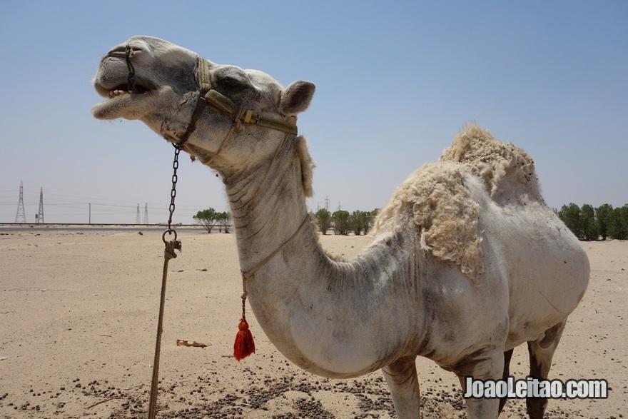 Camelo em Abdali no Kuwait