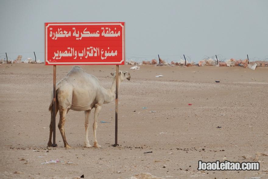 Camelo a coçar-se numa placa de estrada em Al Mutla