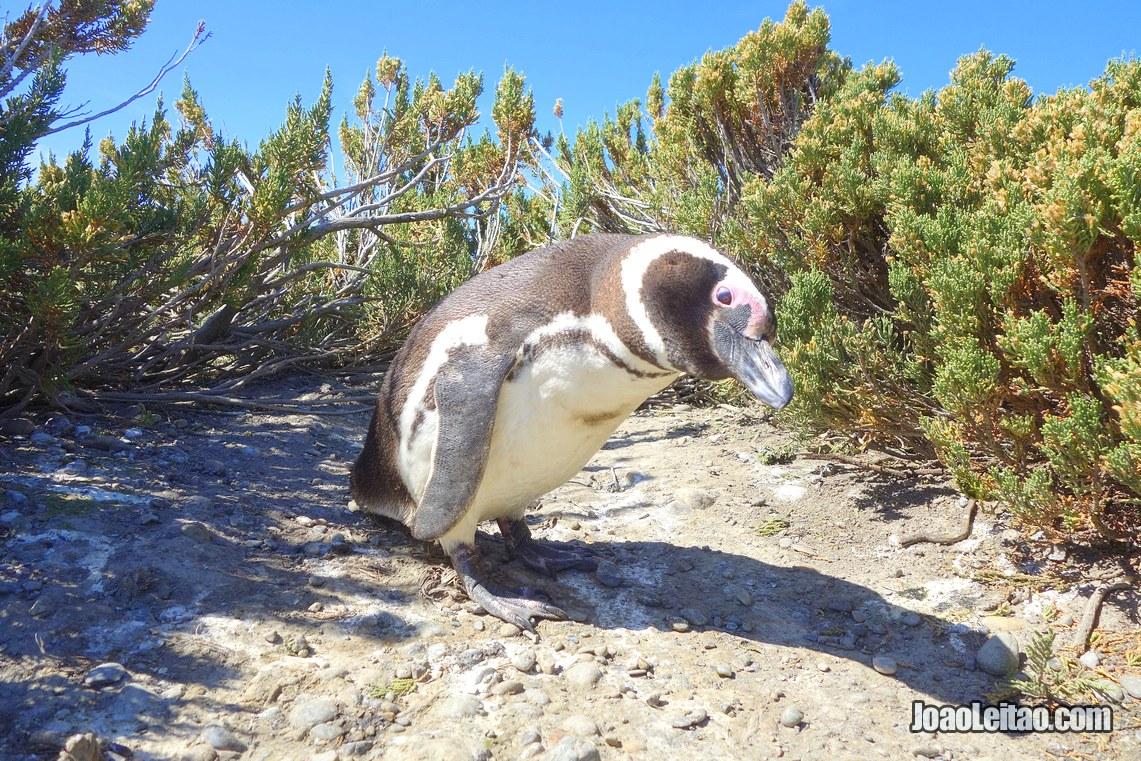 Pinguim na Reserva Natural Cabo Virgenes, Visitar a Argentina