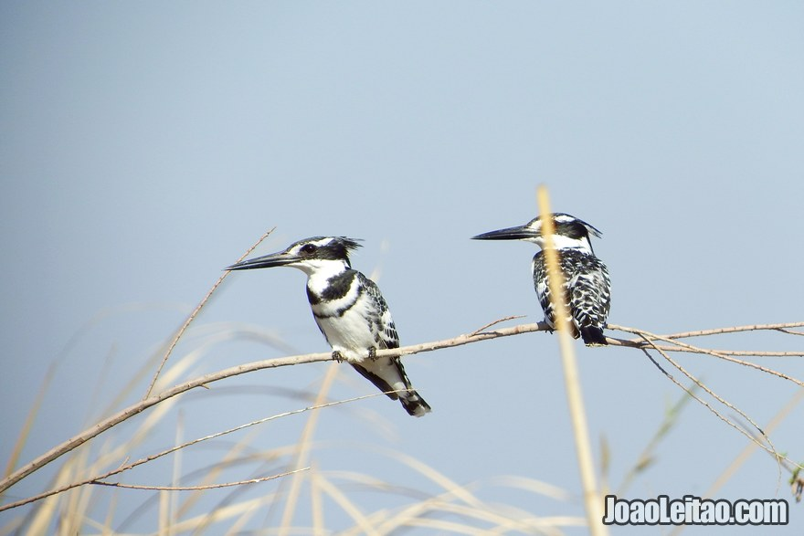 Birds in the marshes of Mesopotamia