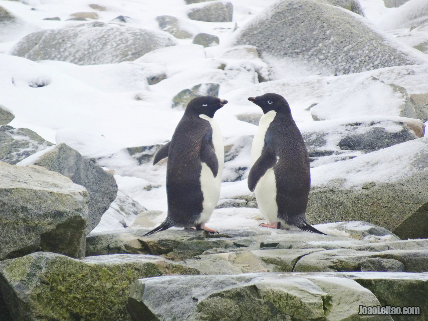 Pinguins-de-Adelie na Antártida