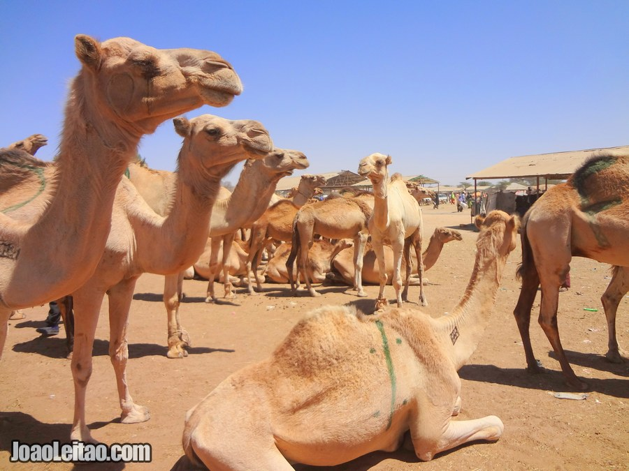 Camel Market in Hargeisa Somaliland