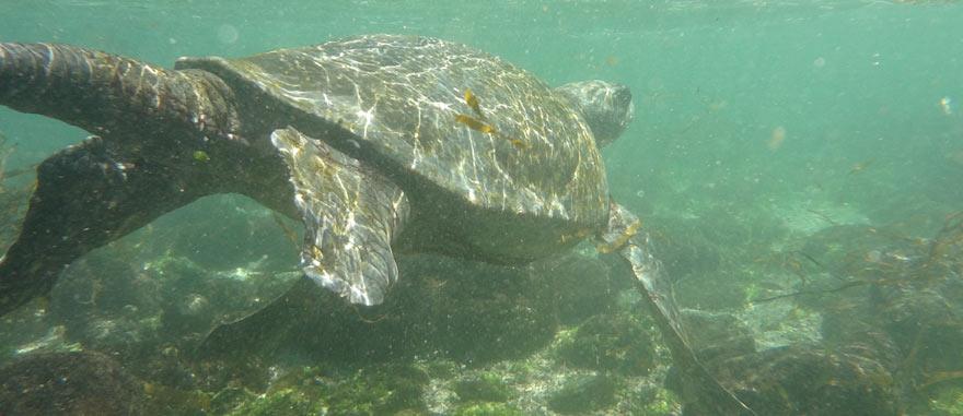 A nadar com tartarugas nas Galápagos