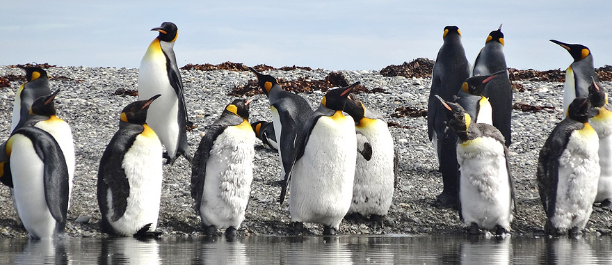 Visit King Penguin Park in Tierra del Fuego Chile