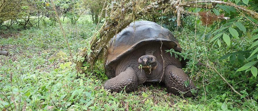 Giant Tortoise Turtle in Santa Cruz Island Galapagos