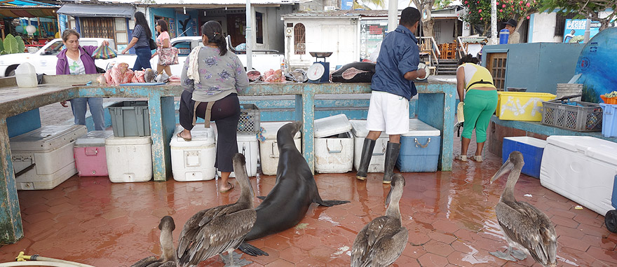 Puerto Ayora Fish Market with hungry pelicans and sea lions