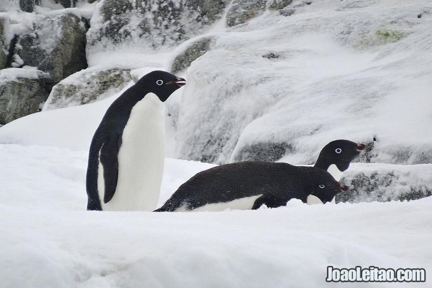 Photo of ADELIE PENGUINS, Antarctica