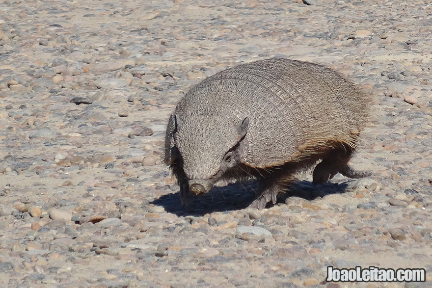 Hungry Armadillo in Valdes Peninsula Argentina