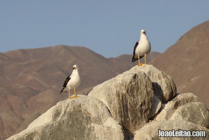 Seagulls on the coast of Atacama Desert Chile