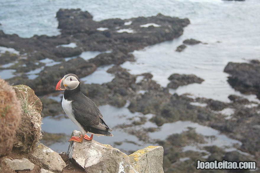 Photo of Adorable Atlantic PUFFIN in Latrabjarg, Iceland
