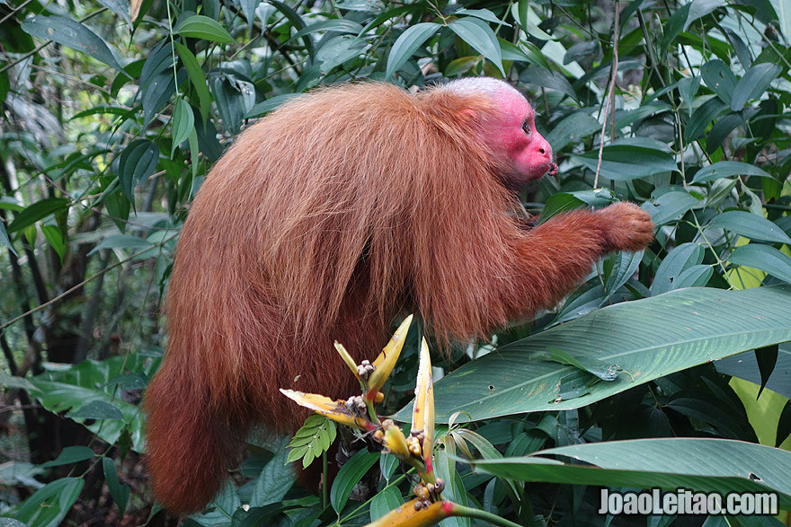 Photo of BALD UAKARI or RED FACE MONKEY in the Amazon, Peru