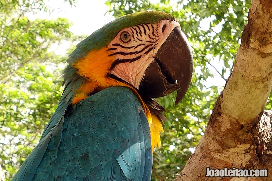 Wounded Blue Yellow Macaw in Animal Rescue Center in Brazil