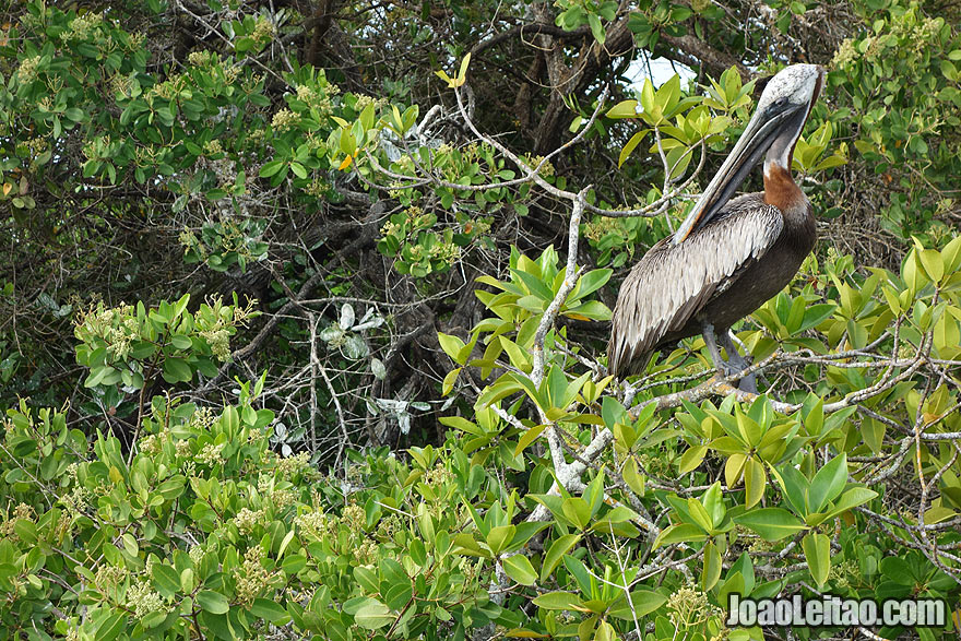 Photo of BROWN PELICAN on top of a tree in Galapagos, Ecuador