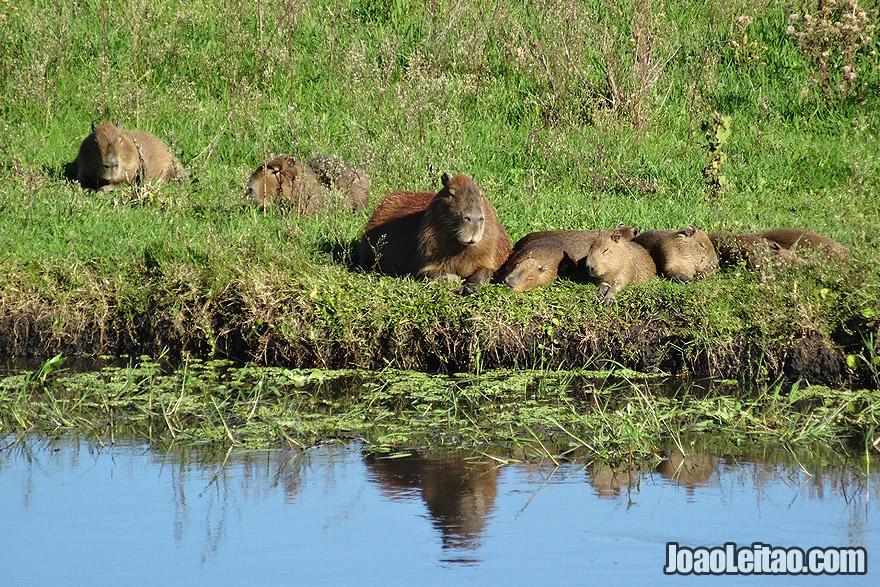 Photo of CAPYBARAS family in the wild, south Brazil